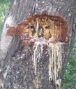 Tree marked showingexudates
