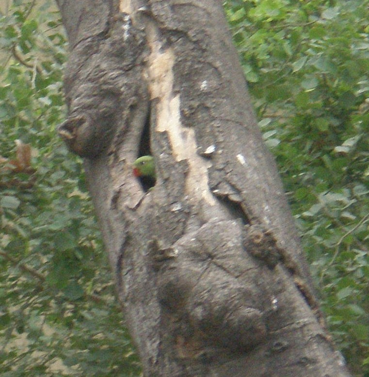 a parrot in a tree cavity in the delhi universitycampus