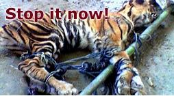photo tiger small (c)WWF