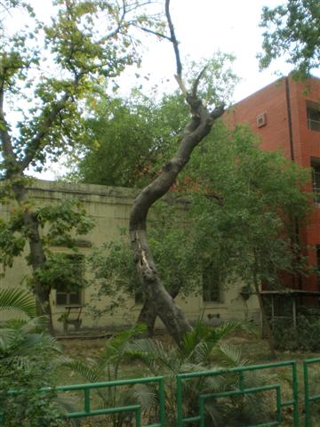 tree in front ofCSL