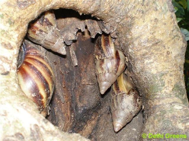Apple Snail in DelhiRidge