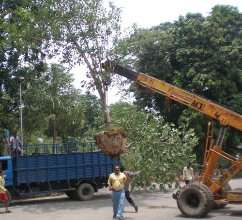 Trees being transplanted in Delhi University